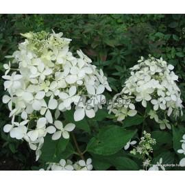 Bugás hortenzia - Hydrangea paniculata - PHANTOM