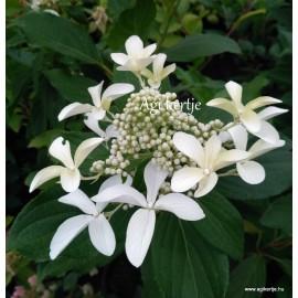 Hydrangea paniculata - GREET STAR