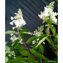 Hydrangea paniculata - GRANDIFLORA