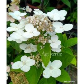 Hydrangea paniculata - DHARUMA