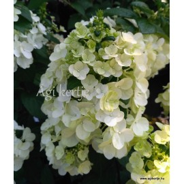 Bugás hortenzia - Hydrangea paniculata 'Mont Blanc'
