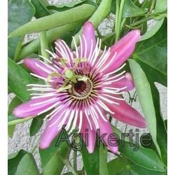 Passiflora 'Violacea'