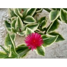 Szívlevelű  kristályvirág, Jegecske, tarka levelű -  Aptenia cordifolia
