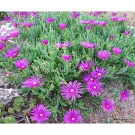 Kristályvirág - Delosperma  cooperi