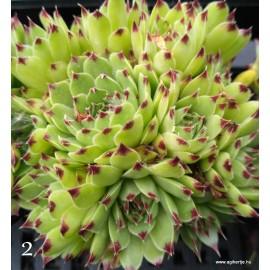 2- Kövirózsa - Világos zöld, csokifülű - Sempervivum