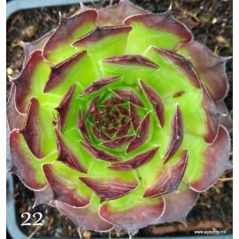 22 - Kövirózsa - Nagyon lapos tányér, széles gesztenye csúccsal - Sempervivum