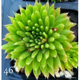 46 - Kövirózsa - Zöld mongol - Orostachys japonica
