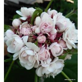 Kínai klerodendrum - Clerodendrum filippinum - Clerodendrum fragrans
