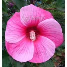 Mocsári hibiszkusz - Cirmoska - Hibiscus moscheutos