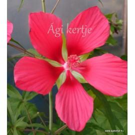 Kenderlevelű hibiszkusz, piros - Skarlát hibiszkusz - Hibiscus coccineus