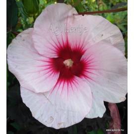Mocsári hibiszkusz - Jolly Heart - Hibiscus moscheutos