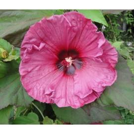 Mocsári hibiszkusz - Plum Crazy - Hibiscus moscheutos