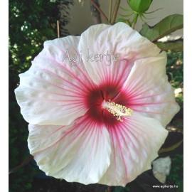 Mocsári hibiszkusz - Kopper King - Hibiscus moscheutos