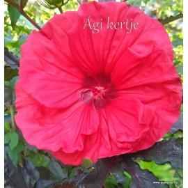 Mocsári hibiszkusz - Red Vine - Hibiscus moscheutos