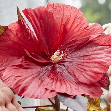 Mocsári hibiszkusz - Geant Red - Hibiscus moscheutos