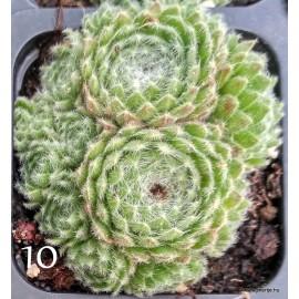 10 - Kövirózsa - Molyhos szőröske - Sempervivum