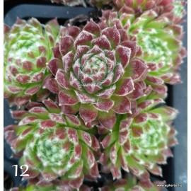 12 - Kövirózsa - Vöröses-barnás szőrös gombóc - Sempervivum