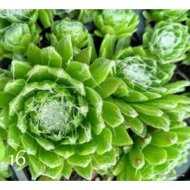 16 - Kövirózsa - Pókhálós kis gombócos - Sempervivum