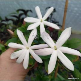 Afrikai jázmin-Jasminum multipartitum