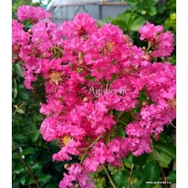 Selyemmirtusz - Kreppmirtusz - Rózsaszín - Lagerstroemia