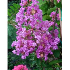 2 - Selyemmirtusz, lila -  Lagerstroemia indica