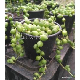 Borsóka - Gyöngyfüzér - Senecio rowleyanus