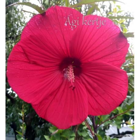 Mocsári hibiszkusz - Fireball - Hibiscus moscheutos