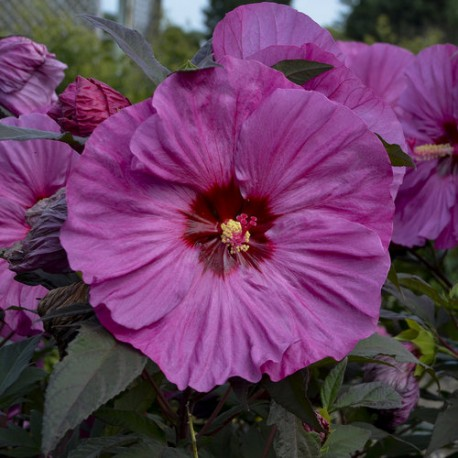 Mocsári hibiszkusz - Berry Avesome - Hibiscus moscheutos