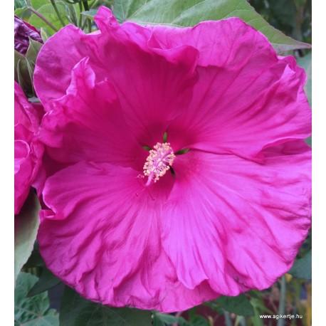 Mocsári hibiszkusz - Jazzberry Jam - Hibiscus moscheutos