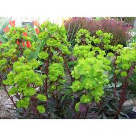 Erdei kutyatej mag , bordó lombú - Euphorbia amygdaloides 'Purpurea'–