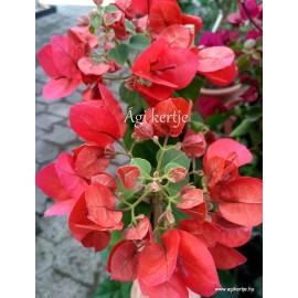 24-Sötétpiros-pink - Murvafürt-Bougainvillea - Scarlet O'Hara