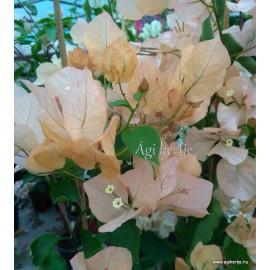 40 - Világos arany - Golden Tango - Murvafürt - Bougainvillea