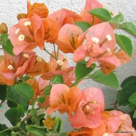 2-Aranysárga-rózsaszín-Murvafürt-Bougainvillea Orange Fiesta