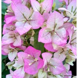 31- Rózsásfehér -Murvafürt - Bougainvillea- Magic-Imperial Thai Delight