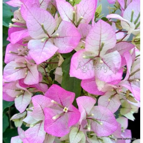 31- Rózsásfehér -Murvafürt - Bougainvillea- ( Magic-Imperial Thai Delight )