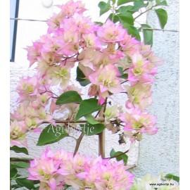 1-Fehér-rózsaszín-dupla-Murvafürt-Bougainvillea
