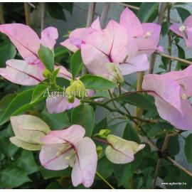 10-Fehér-rózsaszín cirmos-Murvafürt-Bougainvillea-Sakura