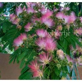 Perzsa selyemakác - Albizia julibrissin