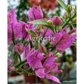54 - Lila glabra variegata - Murvafürt - Bougainvillea