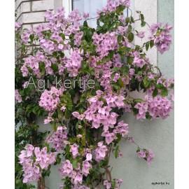 7-Halvány lila-Murvafürt-Bougainvillea-Easter Parade