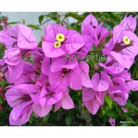 56 - Lila-rózsaszínes  glabra - Murvafürt - Bougainvillea
