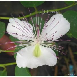 Capri cserje mag - Capparis spinosa