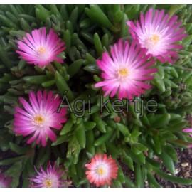Delosperma-Jewel of Desert Amethyst- pink,fehér közép-Ági kertje