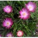 Kristályvirág-Delosperma- Amethyst- pink,fehér középpel