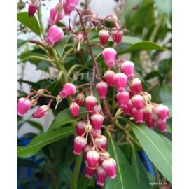 Babérhanga - Pieris japonica