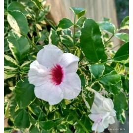 Pandorea jasminoides mag - Tarka levelű magja