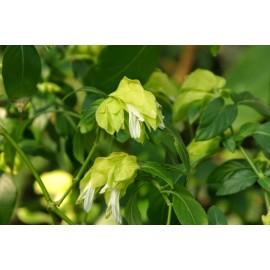 SSzobakomló, limezöld-sárga színben - Beloperone guttata Yellow