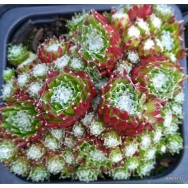 34 - Köviózsa - Zöldes, pirosas, miniatűr - Sempervivum
