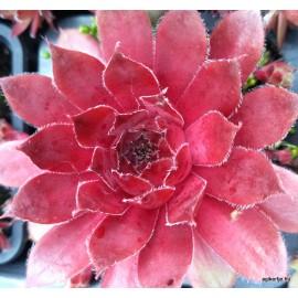 52 - Kövirózsa - Nagyon piros, bordós - sempervivum