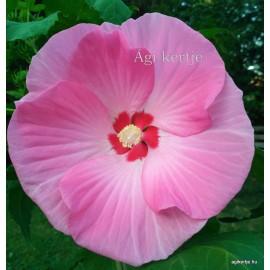 Mocsári hibiszkusz - Rózsaszín-fehér batik - Hibiscus moscheutos